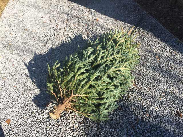 live christmas tree after holiday laying in gravel driveway
