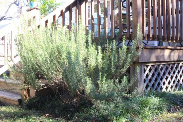 Rosemary Next to Deck Stairs