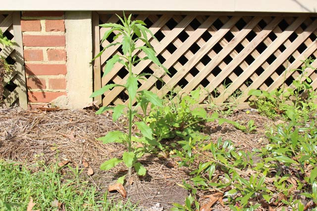 Weeds in Flower Bed