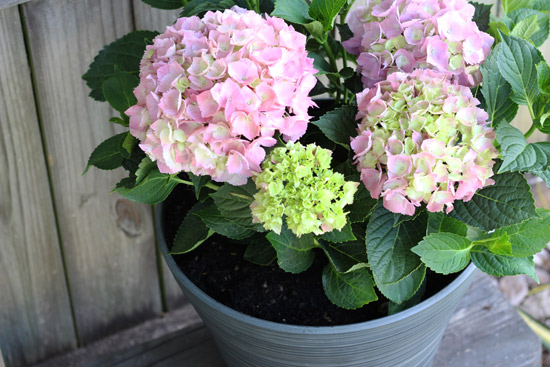 Pink Hydrangea in Gray Cabana Planter from Southern Patio
