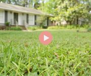 How To Grow Green Grass Video