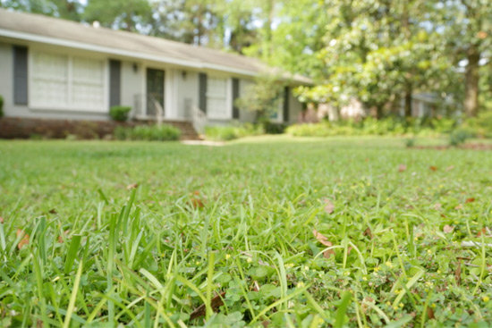 Weeds in Lawn Before Aerating and Fertilizing