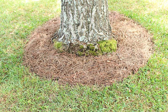 Base of Ginkgo Tree with Tree Ring and Pine Straw