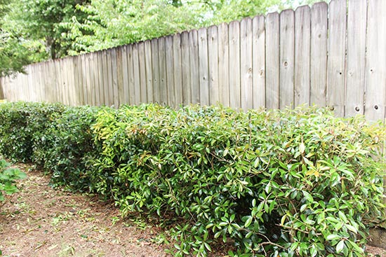 Cleaned and Pruned Hedges in Back Yard