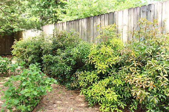 Cleyera Japonica Bush After Winter Before Pruning in Spring