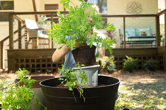 Adding Citronella Mosquito Plant to Large Whiskey Barrel Planter