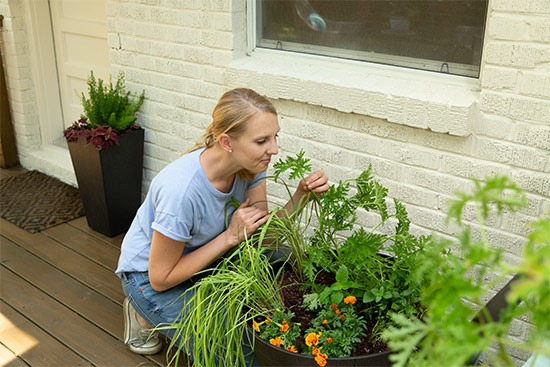 Smelling a Citronella Plant in Brown Whiskey Barrel Planter by White Painted Brick House